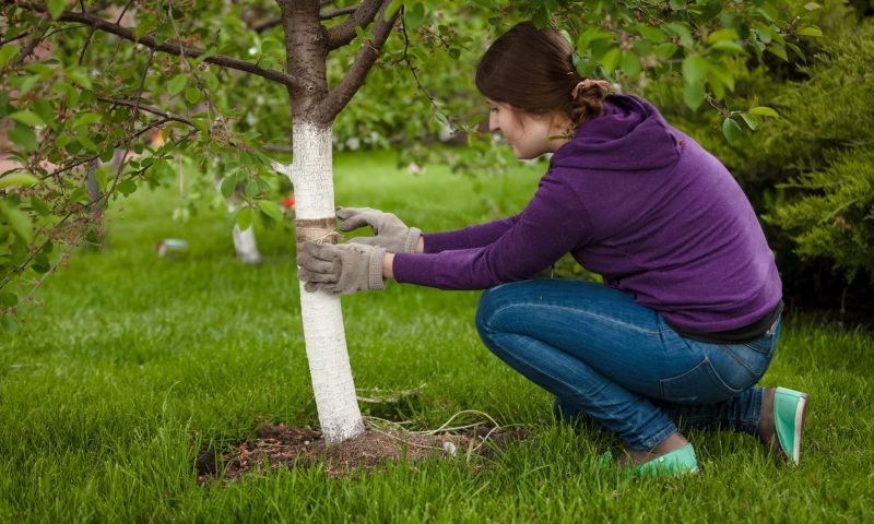 Tree and shrub feeding is a popular Perma-Green Lawn Care service/