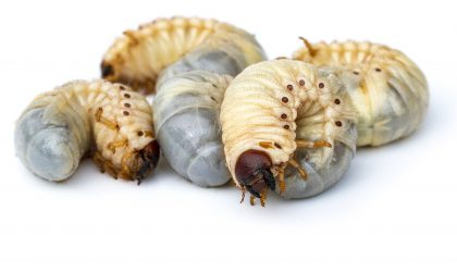 Controlling grubs and other pests is part of a good fall lawn care plan