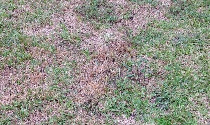 yard devastated by armyworms